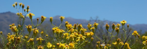 Flowers of Senecio sp. in Villavicencio Nature Reserve, Mendoza. Photo: Diego Vázquez.