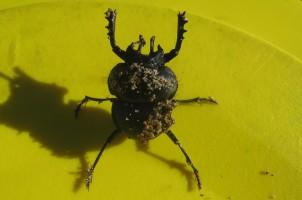 Dung beetle Anomiopsoides fedemariai. Photo: Belén Maldonado.