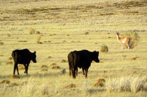 Interactions between guanacos and domestic cattle in La Payunia Reserve. Photo: Natalia Schroeder.