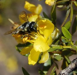 Solitary bee Megachile leucografa visiting flowers of Larrea divaricata in Villvicencio Nature Reserve. Photo: Diego Vázquez.
