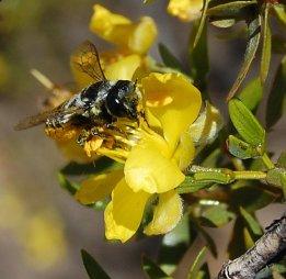 Solitary bee Megachile leucografa visiting flowers of Larrea divaricata in Villvicencio Nature Reserve. Photo: Diego Vázquez.
